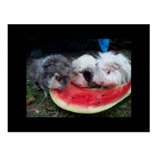 guinea pigs eatting watermellon postcard