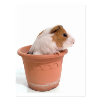 guinea pigs in has flowerpot postcard