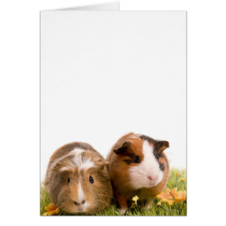 guinea pigs on a lawn carte