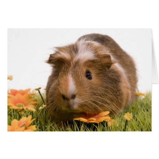 guinea pigs one has lawn card