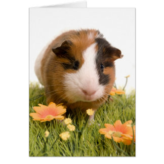 guinea pigs one has lawn greeting card