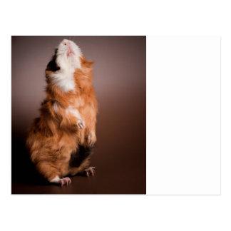 guinea pigs prepared, postcard
