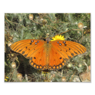 Gulf Fritillary Butterfly Photographic Print