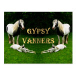 Gypsy Vanners Postcard