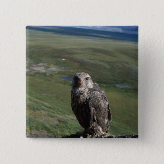 gyrfalcon, Falco rusticolus, juvenile getting 15 Cm Square Badge