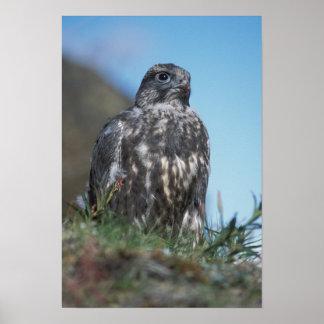 gyrfalcon, Falco rusticolus, juvenile getting 2 Poster