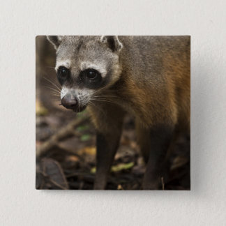 Habituated Crab-eating Raccoon Procyon 15 Cm Square Badge