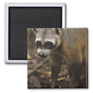 Habituated Crab-eating Raccoon Procyon Magnet
