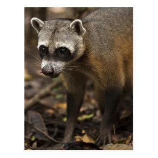 Habituated Crab-eating Raccoon Procyon Postcard
