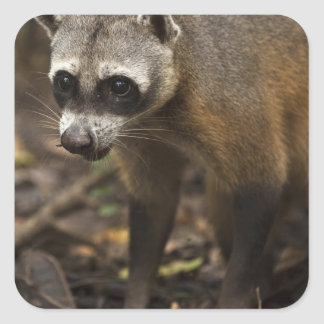 Habituated Crab-eating Raccoon Procyon Square Sticker