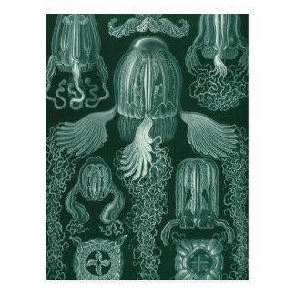 Haeckel Cubomedusae Postcard