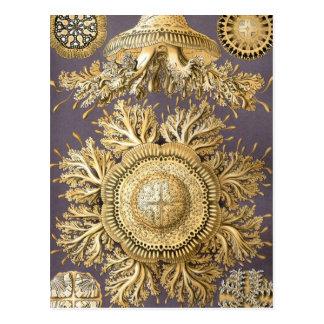 Haeckel Discomedusae Postcard