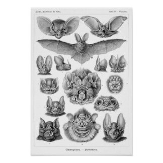 Haeckel s Bats Posters