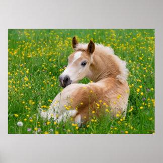 Haflinger Horse Cute Foal Flowerbed, Animal Photo Poster