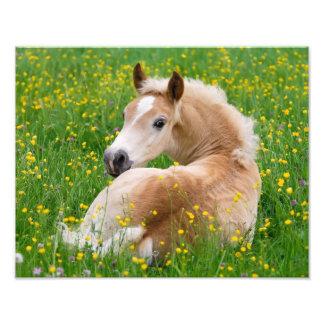 Haflinger Horse Cute Foal in Flowerbed  Paperprint Photo