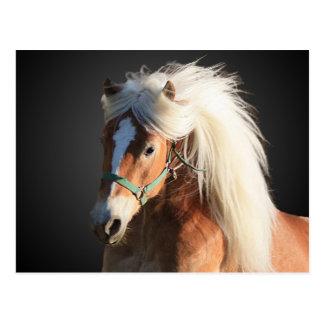 Haflinger Horse with beautiful mane Postcard