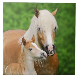 Haflinger Horses Cute Baby Foal Kiss Mum Photo _ Tile
