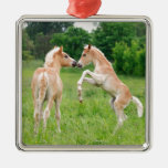 Haflinger horses cute foals rearing Silver-Colored square decoration