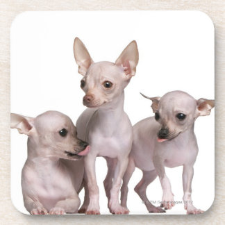 Hairless Chihuahua (5 and 7 months old) Beverage Coasters