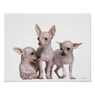 Hairless Chihuahua (5 and 7 months old) Poster