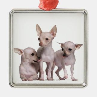 Hairless Chihuahua (5 and 7 months old) Silver-Colored Square Decoration