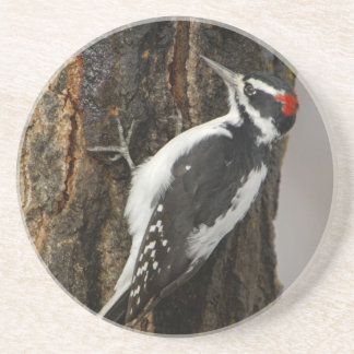 Hairy Woodpecker male on aspen tree, Grand Teton Coaster