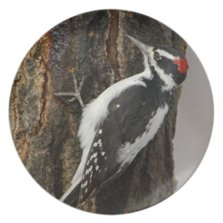 Hairy Woodpecker male on aspen tree, Grand Teton Plate