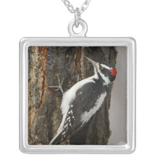 Hairy Woodpecker male on aspen tree, Grand Teton Silver Plated Necklace