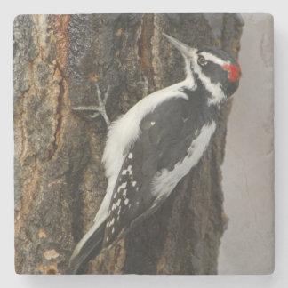 Hairy Woodpecker male on aspen tree, Grand Teton Stone Coaster