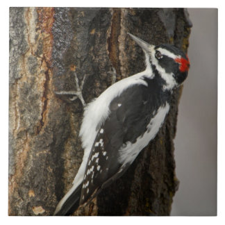 Hairy Woodpecker male on aspen tree, Grand Teton Tile