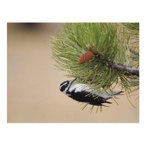 Hairy Woodpecker, Picoides villosus, female Post Card