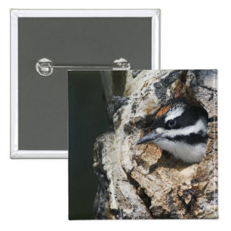 Hairy Woodpecker, Picoides villosus, young in 15 Cm Square Badge