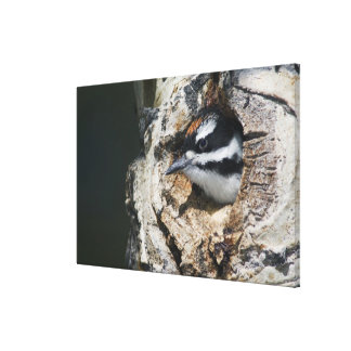 Hairy Woodpecker, Picoides villosus, young in Canvas Prints