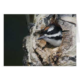 Hairy Woodpecker, Picoides villosus, young in Card
