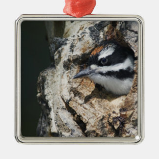 Hairy Woodpecker, Picoides villosus, young in Christmas Ornament