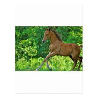 Half Arabian Colt Postcard