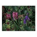 Hall Island wildflowers, Monkshood, Rose sedum Postcard