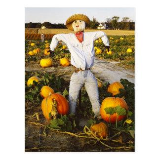 Halloween scarecrow in pumpkin field post cards