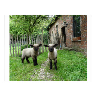 Hampshire Down lambs postcard