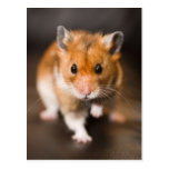 Hamster Post Cards