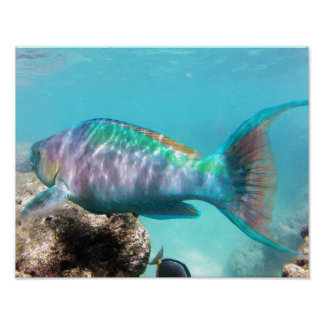 Hanauma Bay Hawaii Parrot Fish Poster