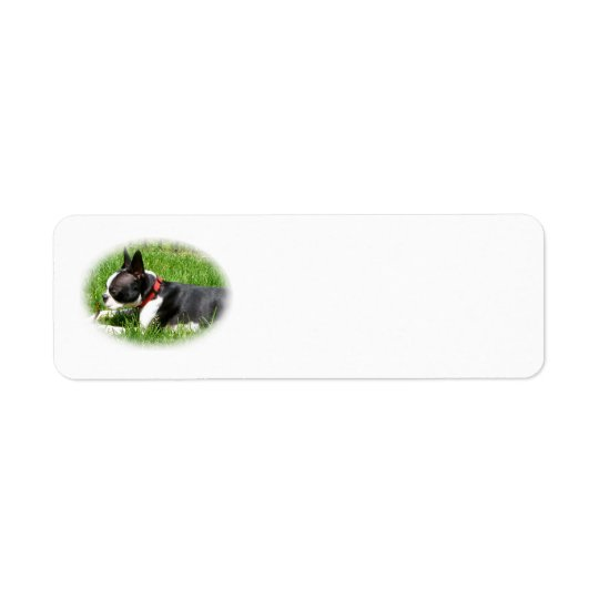Handsome Boston Terrier Dog On Grass with Stick