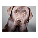 Handsome Chocolate Labrador Postcards