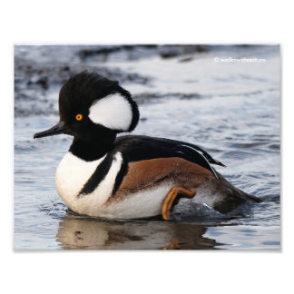 Handsome Hooded Merganser on the Move Photo Print
