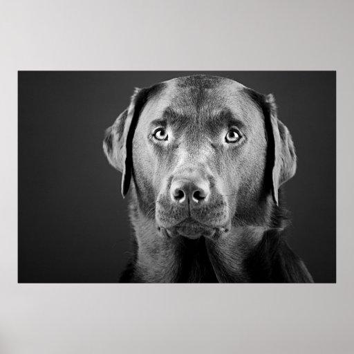 Handsome Labrador Poster
