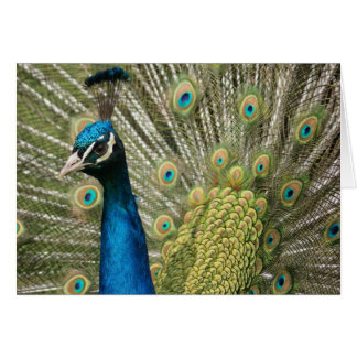 Handsome Peacock Card
