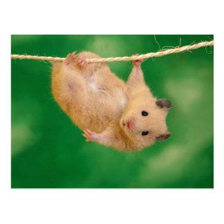 Hanging Hamster Postcard