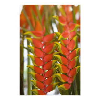 Hanging Heliconia, Weekly Tuesday fruit & Photo Print