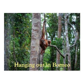 Hanging Out Orangutan in Borneo Postcard
