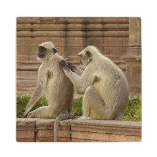 Hanuman Langurs or Black-faced, Common or Grey Wood Coaster